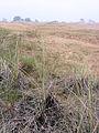Ammophila arenaria (Helm bloeiende plant).jpg