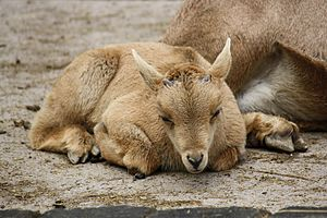 Barbary sheep - Juvenile