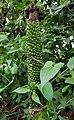 Amorphophallus paeoniifolius fruits (Philippines).jpg