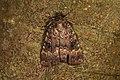 Amphipyra berbera (36517097555).jpg