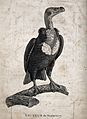 An Indian vulture. Engraving. Wellcome V0022336.jpg