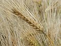 An ear of barley, near Hackpen White Horse - geograph.org.uk - 477318.jpg