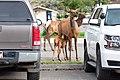 An elk calf nurses between cars in the Mammoth administration parking lot (48044024906).jpg