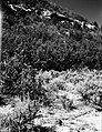 An oak forest near East Entrance. Exhibit 21-P-2. ; ZION Museum and Archives Image ZION 14948 ; ZION 14948 (62781f3ebb6d4e56a63410a8a89d14e3).jpg