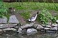 Anas acuta -ZooParc de Beauval, France-6a.jpg
