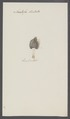 Anatifa dentata - - Print - Iconographia Zoologica - Special Collections University of Amsterdam - UBAINV0274 101 01 0018.tif