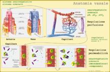 Anatomia e regolazione di vasi sanguigni