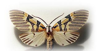 <i>Anaxita</i> genus of insects