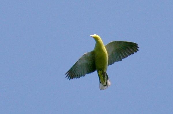 Andaman Green-pigeon flight