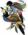 Andigena cucullata by John Gould.jpg