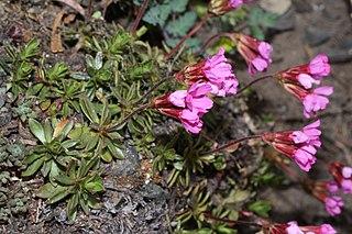 <i>Androsace laevigata</i> species of plant