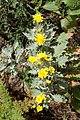 Andryala pinnatifida kz17.jpg