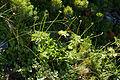 Anemone narcissiflora 29.jpg