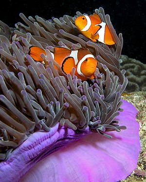 Ocellaris clownfish - Purple anemone (Heteractis magnifica) and resident anemonefish (Amphiprion ocellaris) in East Timor.