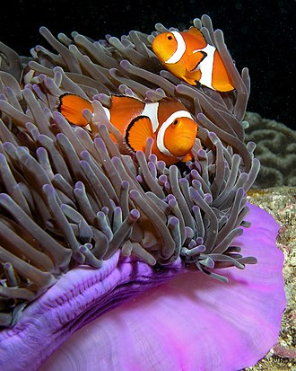 Sequential hermaphroditism - Ocellaris clownfish, Amphiprion ocellaris, a protandrous animal species