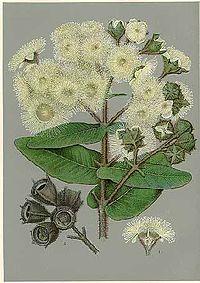 Angophora hispida-Minchen