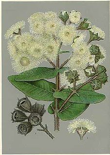 Eucalypteae tribe of plants
