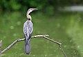 Anhinga melanogaster -Rajasthan, India-8.jpg