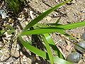 Anigozanthos rufus 'Red Kangaroo Paw' (Haemodoraceae) leaves.JPG