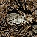 Anisoptera exuvia-4-2.jpg
