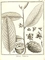 Annona paludosa Aublet 1775 pl 246.jpg