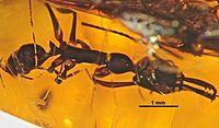 Anochetus conisquamis SMNSDO3955 01.jpg