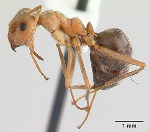 Anoplolepis custodiens casent0170537 profile 1.jpg