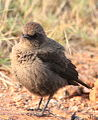 Ant-eating Chat (or Southern Anteater-chat), Myrmecocichla formicivora at Rietvlei Nature Reserve (13913730812).jpg