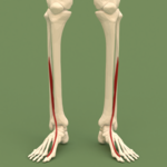 Anterior compartment of leg - Extensor hallucis longus.png