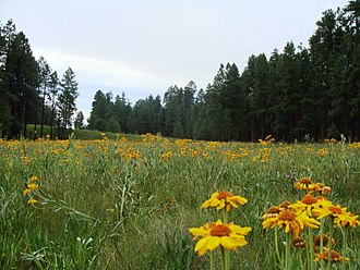 Apache County, Arizona - Wildflower meadow in the Apache-Sitgreaves National Forest, near Alpine.