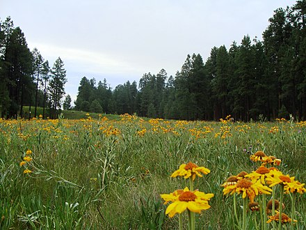 Wildflower meadow in the Apache-Sitgreaves National Forest, near Alpine. Apache Sitgreaves Nima2.JPG