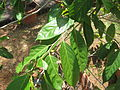 Aporosa cardiosperma - വെട്ടി 02.JPG