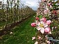 Appelplantage in Ressen (Lingewaard).jpg