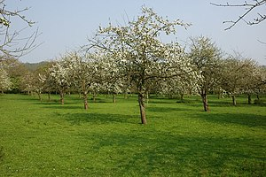English: Apple orchard, Woolhope Apple trees i...