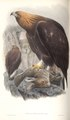 Aquila Chrysaetos.tif