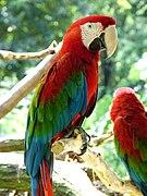 135px Ara chloroptera captivity 4