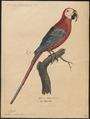 Ara chloropterus - 1842-1855 - Print - Iconographia Zoologica - Special Collections University of Amsterdam - UBA01 IZ18500087.tif