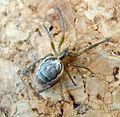Araneidae sp. Zygiella x-notata - Flickr - gailhampshire.jpg