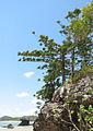 Araucaria cunninghamii Cape Hillsborough NP Queensland.jpg
