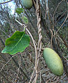 Araujia sericifera, melon of the Moth Vine. (9145026572).jpg