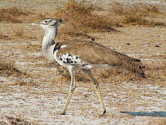 Kori bustard - Nominate subspecies, taken in Etosha National Park, Namibia
