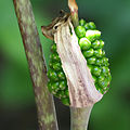 Arisaema triphyllum fruit S06A.jpg