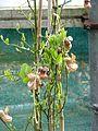 Aristolochia californica (16757485758).jpg