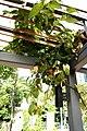 Aristolochia tagala (India Birthwort).jpg