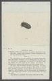 Armadillo atratus - - Print - Iconographia Zoologica - Special Collections University of Amsterdam - UBAINV0274 098 09 0012.tif