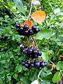 Aronia melanocarpa cv Rubina P1020524.JPG