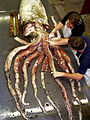 Arranging arms of giant squid.jpg