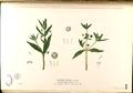 Artemisia viridis Blanco2.284-original.png