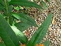 Asclepias curassavica (villa Hanbury, Italy) 2.jpg