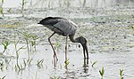 Asian Openbill Anastomus oscitans by Dr. Raju Kasambe (2).JPG
